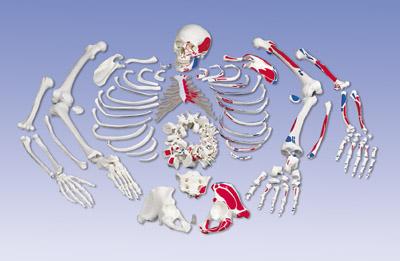 手臂的骨头结构放大图