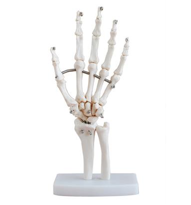 00   产品介绍: 这款模型显示手部解剖结构,可展示各种手功能.